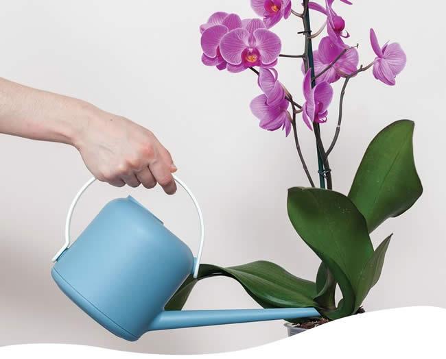Tưới nước cho lan hồ điệp từ 1 - 2 lần mỗi tuần vào gốc cây