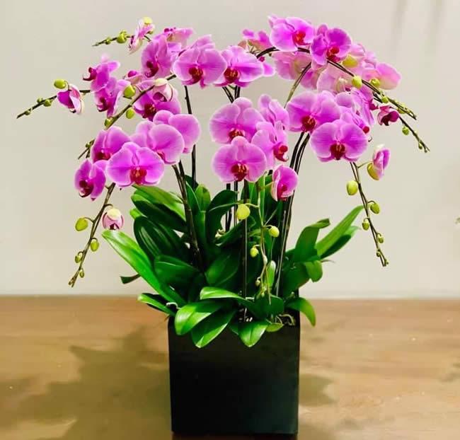 Chăm sóc lan hồ điệp đúng cách giúp cho ra hoa to và bền