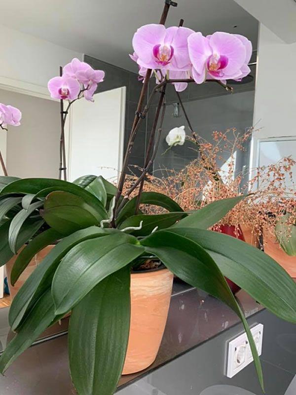 Chăm sóc lan hồ điệp đúng cách sẽ cho ra những bông hoa lan to, đẹp và bền lâu